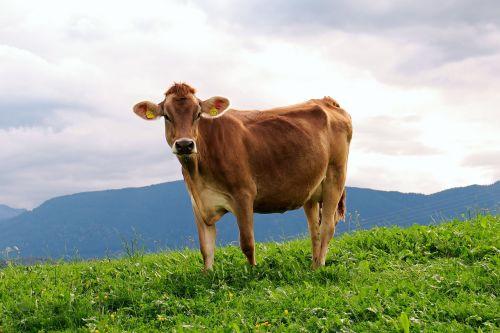 cow animal milk cow