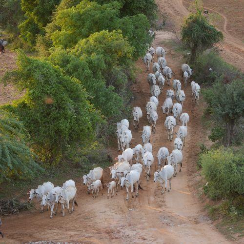 cow herd cows flock