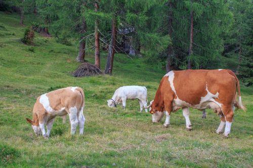 karvės bandas, galvijai, karvės, karvė, jautiena, gyvūnai, pieninės karvės, alm, ragai, flock, žolėdžius, Alpių, austria, carinthia lesachtal