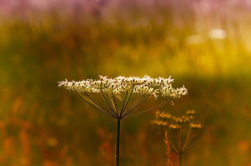 cow parsley  wild herbs  blossom