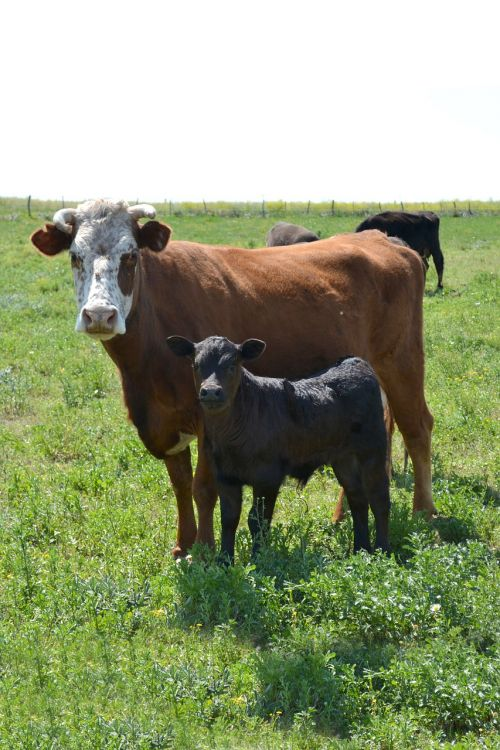 cow with calf calf pampa