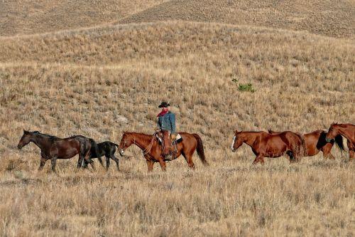 cowboy ranch cattle