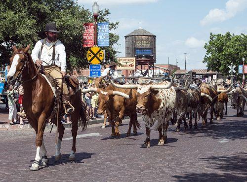 cowboys cattle longhorn