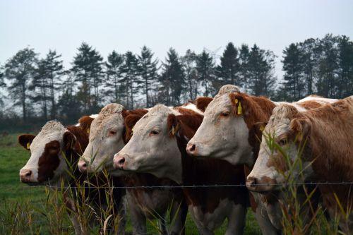 cows cattle cops
