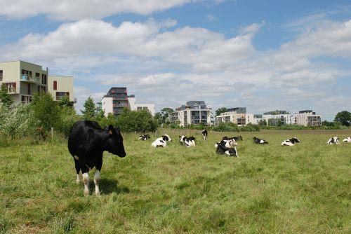 karvės,pastatai,laukas,laukai,laukai mieste,zac,archipelagas,rennes,zac beausoleil,Pacé,graži saulė