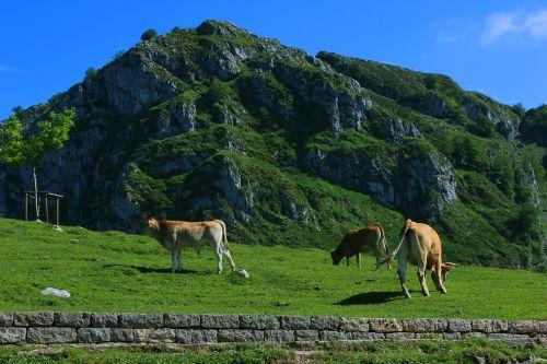 cows livestock field