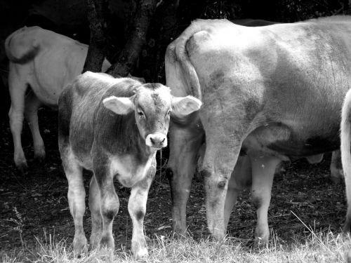 cows herd farm