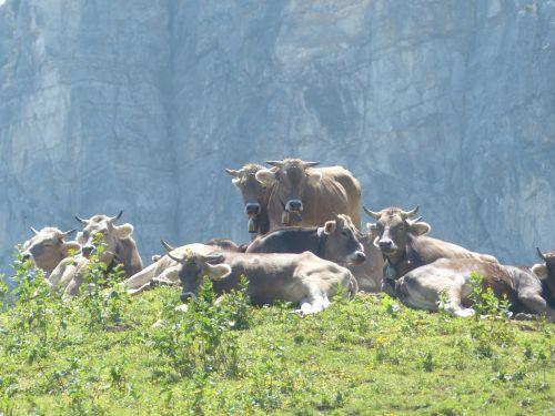 karvės,pieninės karvės,karvės bandas,poilsis,galvijai,ruda,gyvūnai,kalnas,alm,ragai