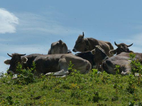cows rest break