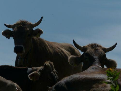 cows horns back light