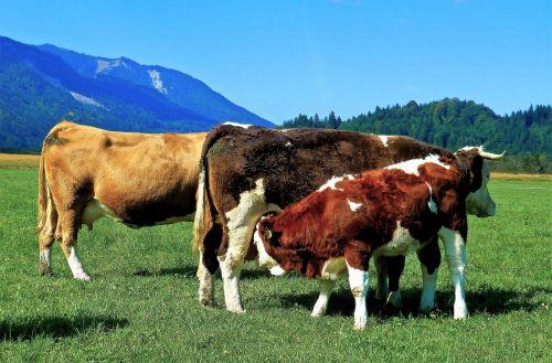 cows cattle jungrind