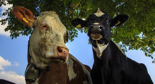 cows farm beef