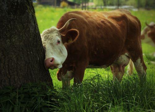 cows cow scrubs