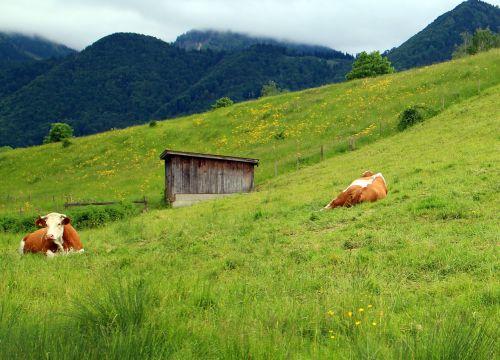cows pasture landscape