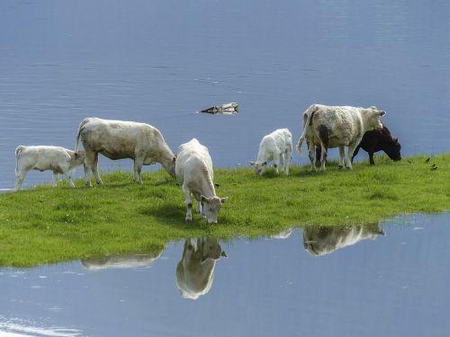 cows calf feeding
