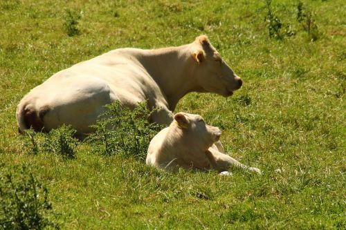 cows pasture cow