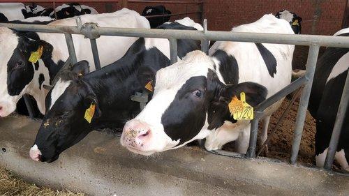 cows  farm  livestock