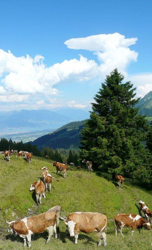 cows alm clouds