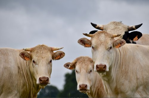 cows  milk cows  horned cows