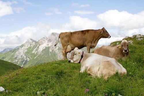 cows mountain cow