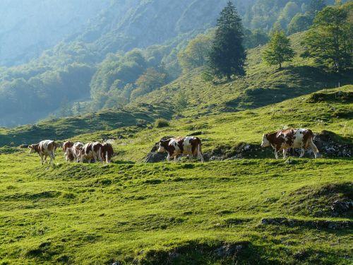 cows almabtrieb viehscheid