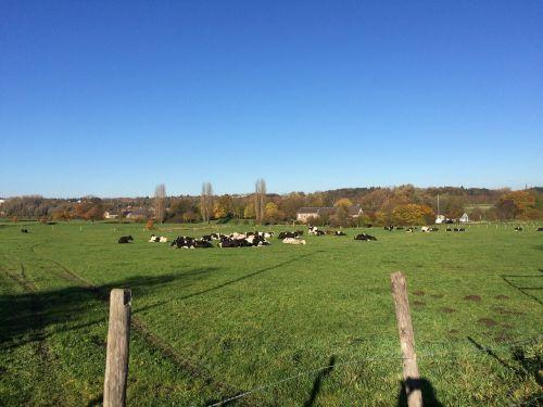 cows landscape summer