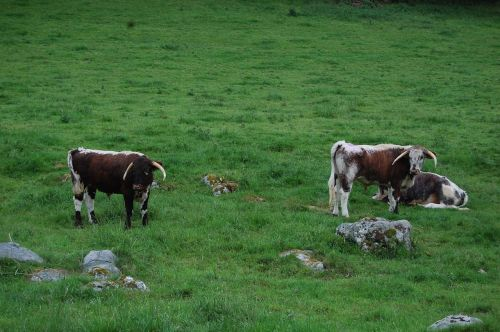 cows england campaign