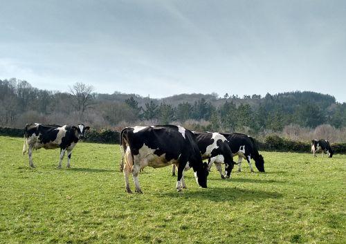 cows prado galicia