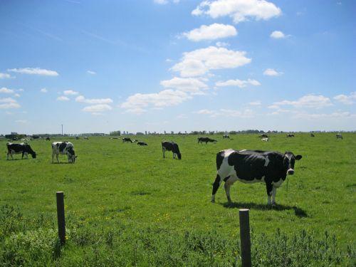 cows east frisia pasture