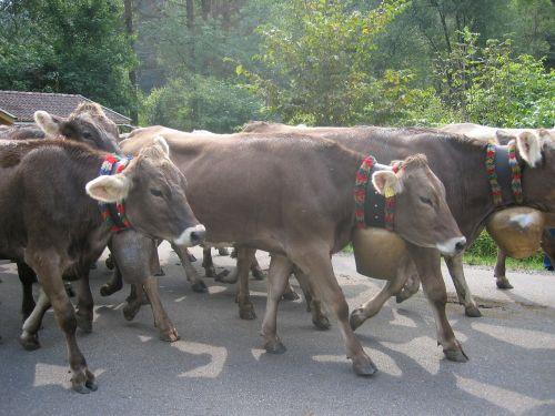 cows allgäu viehscheid