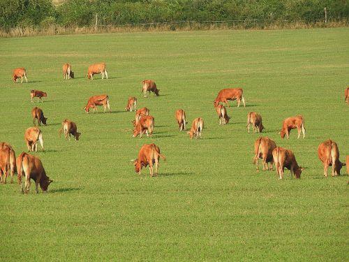 karvės,ganykla,ganyti,galvijai