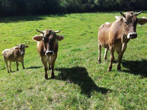 cows allgäu pasture