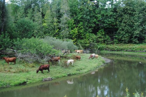 Cows Beside A River