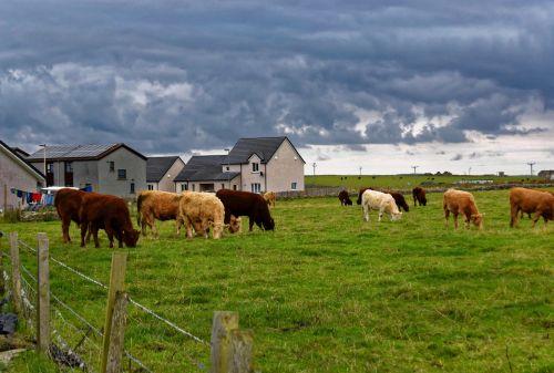 karvės, laukas, ganykla, žolė, ruda & nbsp, karves, gyvūnai, žemės ūkio paskirties žemė, ūkininkavimas, karvės lauke
