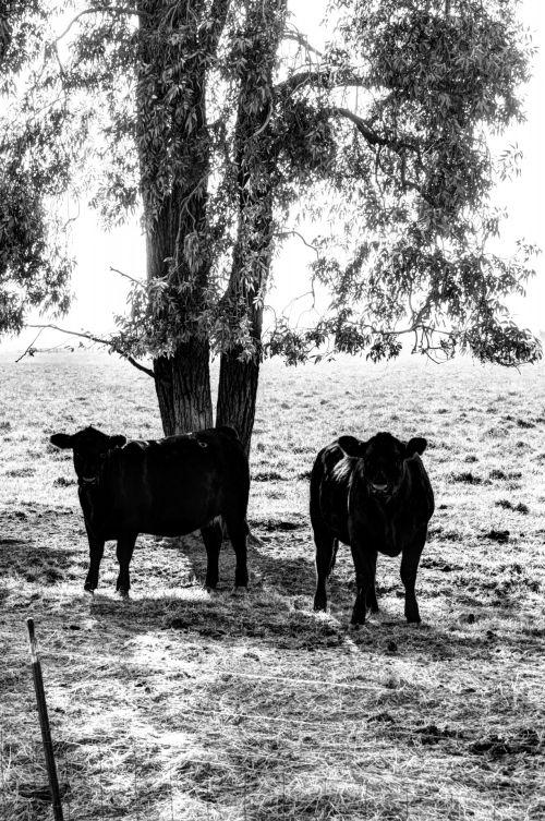 Cows Under A Tree