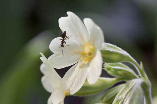 cowslip harbinger of spring blossom