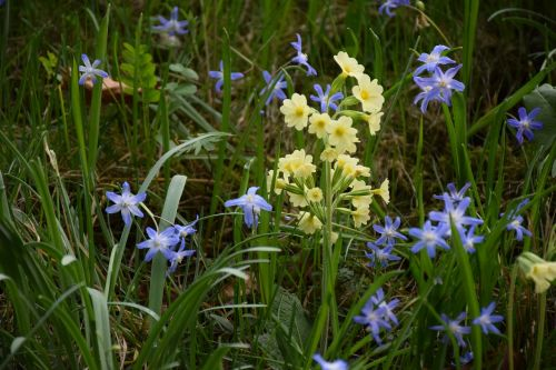 cowslip spring bloom