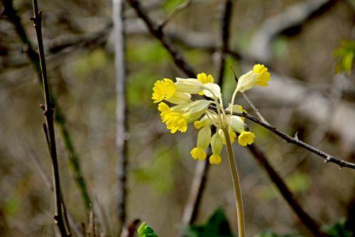 cowslip spring forest primrose