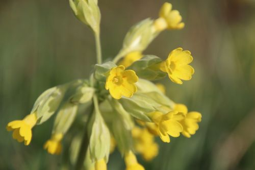 cowslip yellow blossom