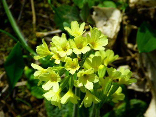 cowslip forest primrose high primrose