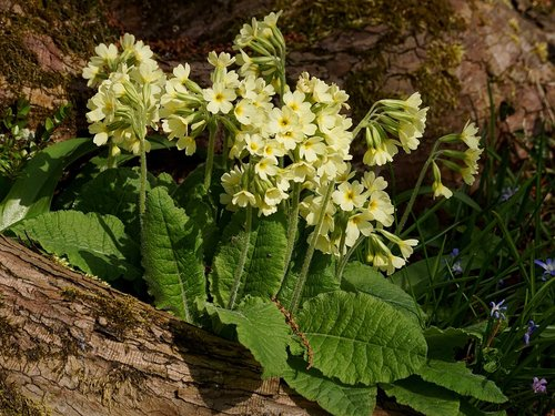 cowslip  nature  flower