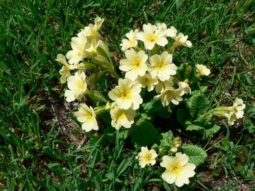 cowslip high primrose flowers