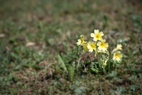 cowslip  flower  pointed flower