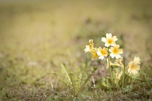 cowslip  yellow  yellow flower