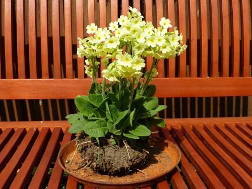 cowslip yellow high primrose