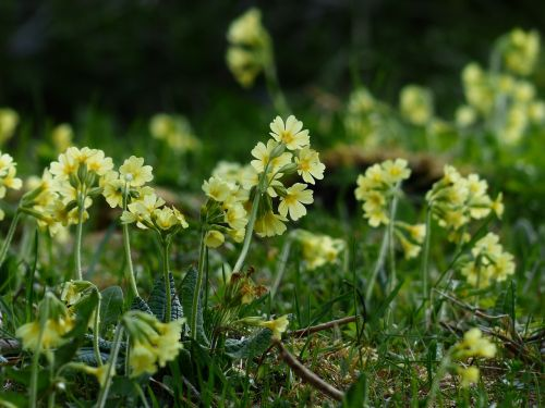 cowslip flowers bright yellow