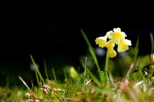 cowslip  spring  nature
