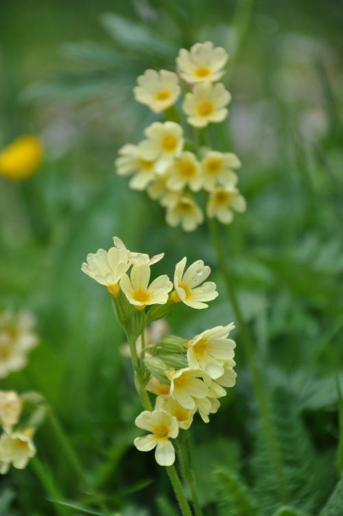 cowslip flowers yellow