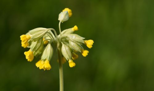 cowslip pointed flower flowers