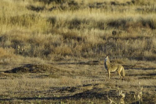 coyote howling wildlife